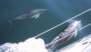Dolphins in the Celtic Sea